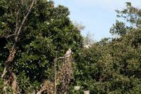 ノスリ幼鳥