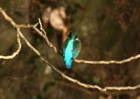 カワセミ雄成鳥