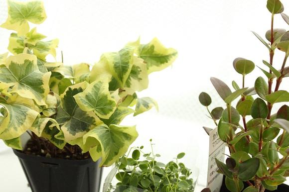 観葉植物ー2
