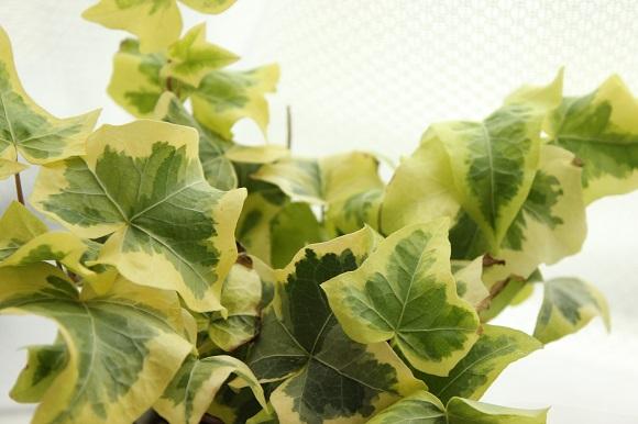 観葉植物ー3