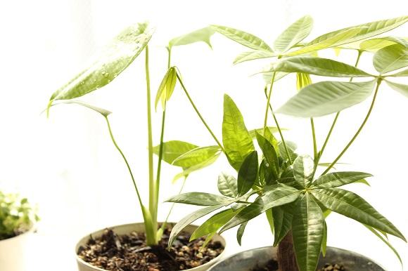 観葉植物ー5