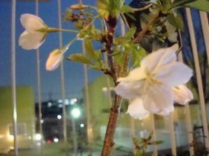 ヨハン家の桜1