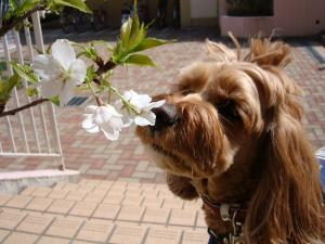 ヨハンとヨハン家の桜