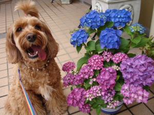 紫陽花とヨハン2010