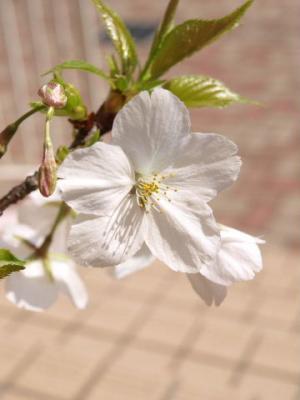 ヨハン家の桜2