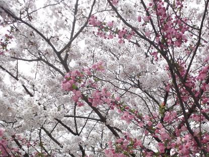 4.10 小学校の桜
