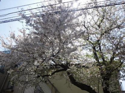 個人のお宅の桜