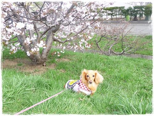 ジュリアと桜