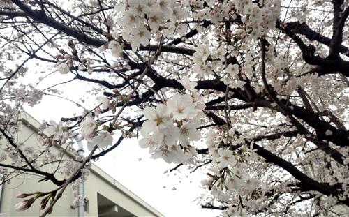 会社の桜2013