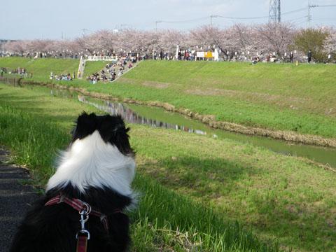 渋田川のさくら祭り