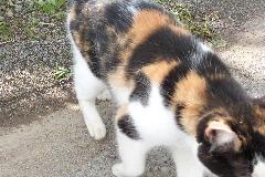 三毛猫 ミユ