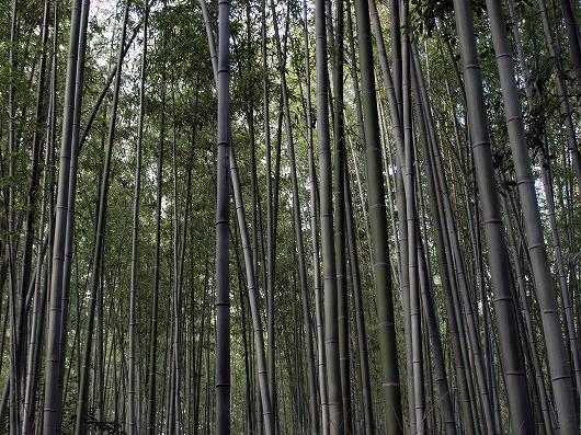 嵯峨野の竹林20121231