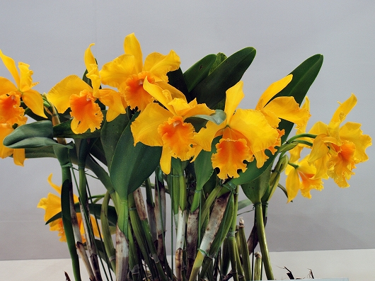 世界らん展の花1-20130216