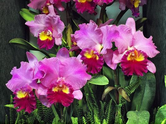 世界らん展の花3-20130216