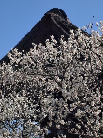 東慶寺の梅02-20130309