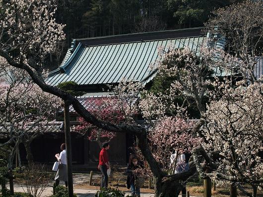 東慶寺の梅03-20130309