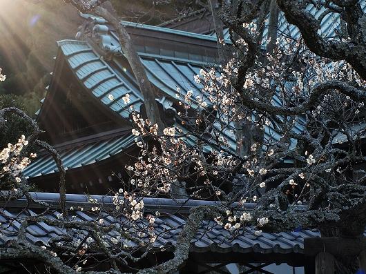 東慶寺の梅18-20130309