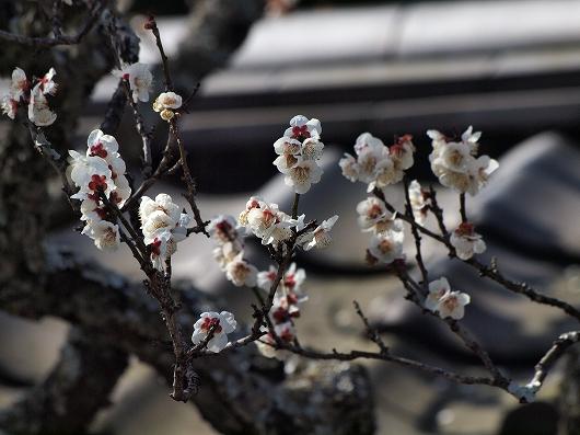 東慶寺の梅04-20130309