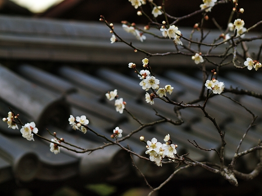 東慶寺の梅13-20130309