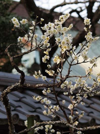 東慶寺の梅14-20130309