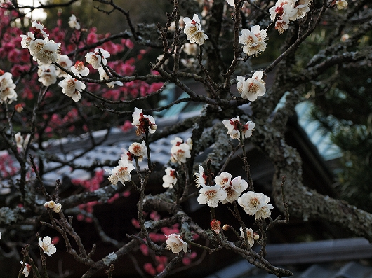 東慶寺の梅16-20130309