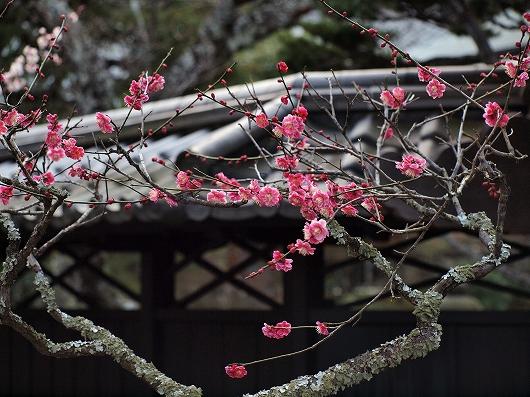 東慶寺の梅19-20130309
