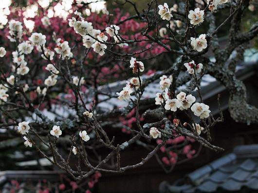 東慶寺の梅22-20130309