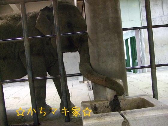 アジアゾウ。