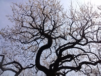梅の木 (200x150)