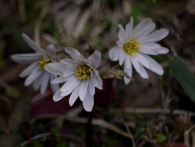 ユキワリイチゲ(白)