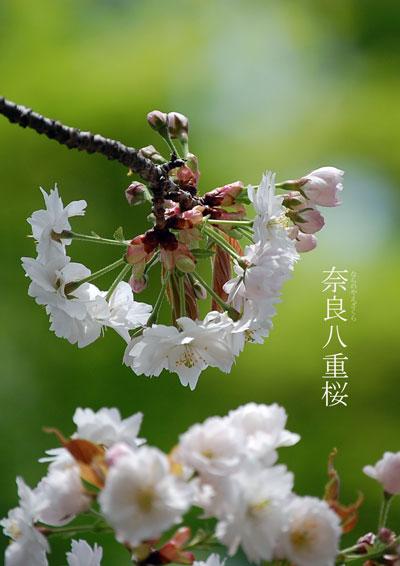 奈良八重桜写真3