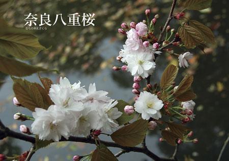奈良八重桜写真1