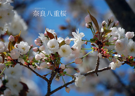 奈良八重桜写真2