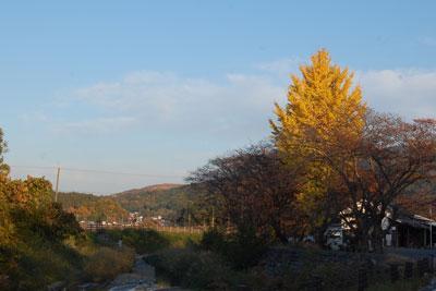 14.11.20銀杏