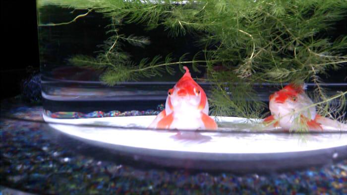 ぽちゃり金魚