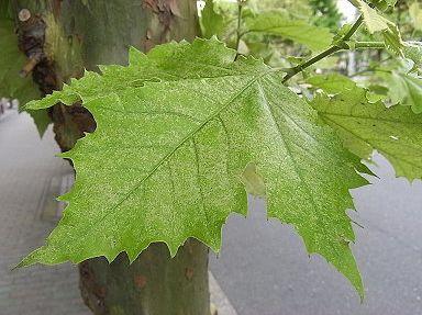 季節の花300 葉9月