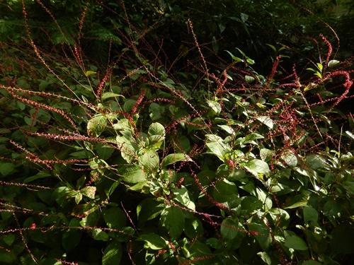 2014.9.23 秋咲く花はぎ 062