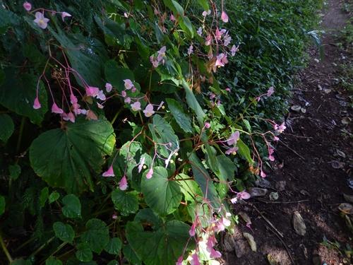 2014.9.23 秋咲く花シュウカイドウ 065