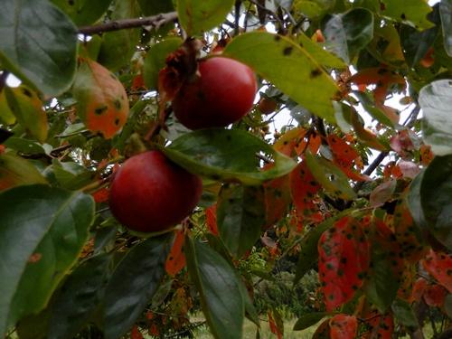 2014.10.2 柿畑 017 (3)
