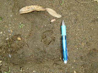 0522-4タヌキの足跡
