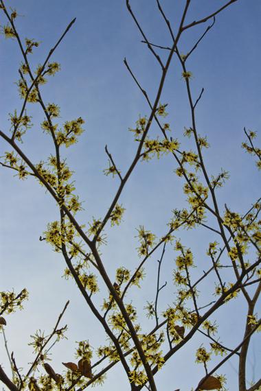 青空に咲く。(まんさく)