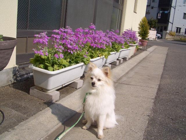 桜草とルイ
