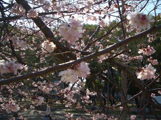 桜・・だよね?