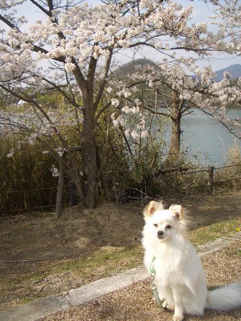今日も桜とルイ