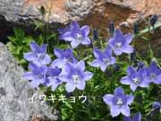 10 イワギキョウ004-3