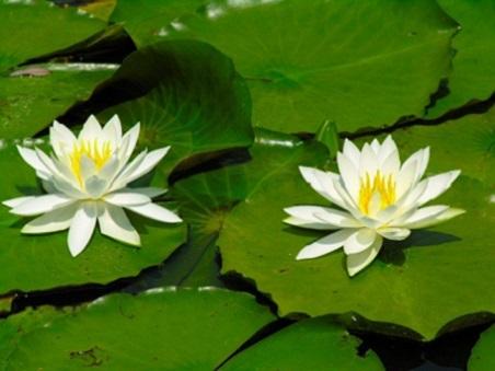 白い蓮の花3