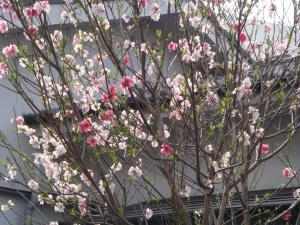 書道教室と春の花 006