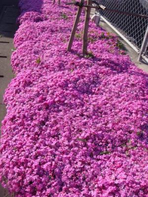 春の花々 003