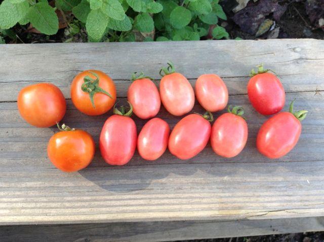 10:16・チャドウックチェリートマトと豊受トマト