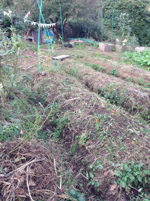 11:4・トマトの畝を片付け